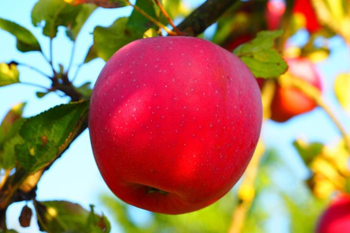 哪里的苹果最好吃