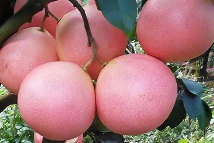 福建的三红蜜柚哪里最出名