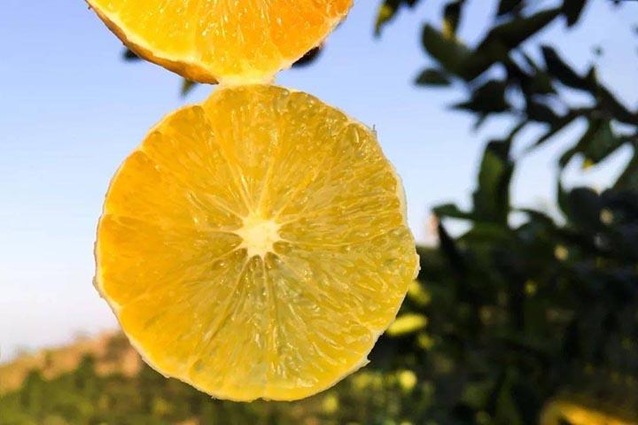 麻阳冰糖橙几月份成熟上市
